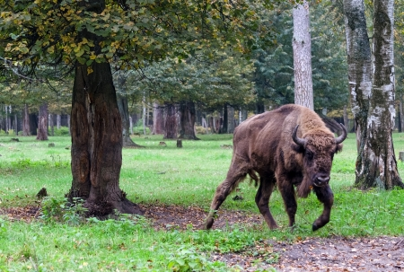 European bison in the national park photo