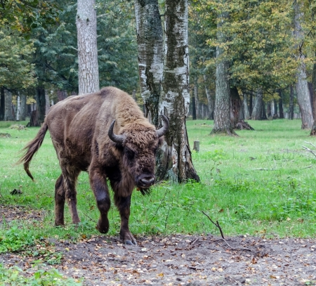 European bison in the national park Stock Photo - 15275081