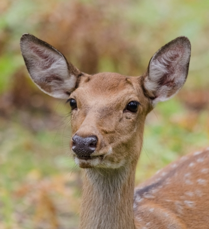 white tail: White-tailed deer in their natural habitat