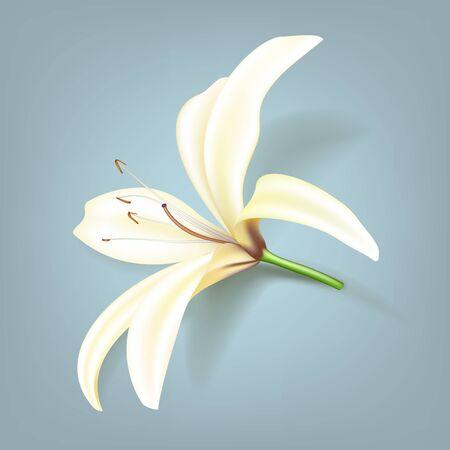 lirio blanco: Realista flor de lirio ilustración vectorial Vectores