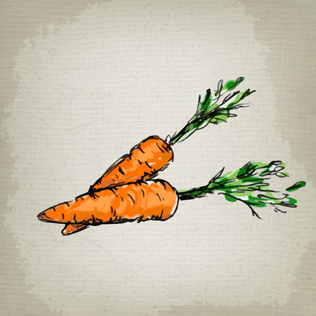 root vegetables: Fresh carrots. Vector illustration Illustration