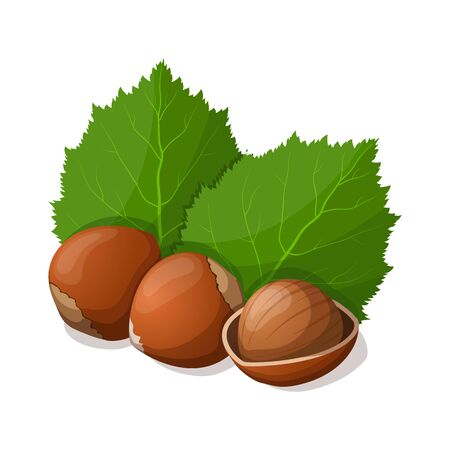filberts: Hazelnuts with leafs isolated on white. Vector illustration. Illustration