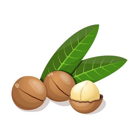Macadamia con foglie isolato su bianco. Illustrazione vettoriale Vettoriali