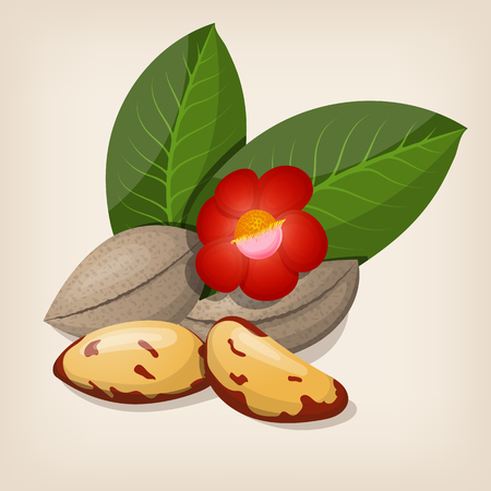 Brazil nuts with flowers and leaves. Illustration