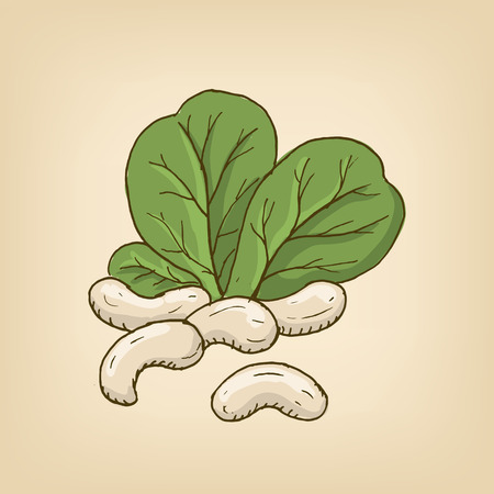 group of cashew nuts with leaves. Illustration
