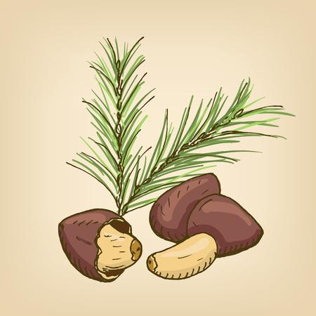 Pine Nut with brunch. Hand drawn illustration.  イラスト・ベクター素材