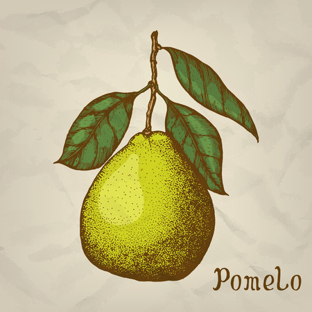 ripened: Pomelo hand drawn illustration. Pomelo icon, isolated