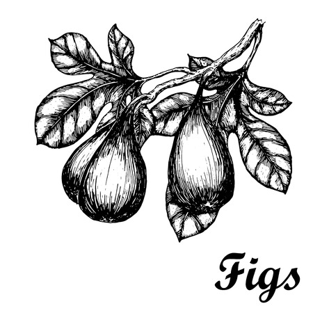 Hand drawn sketch with figs branch. Eco foods.