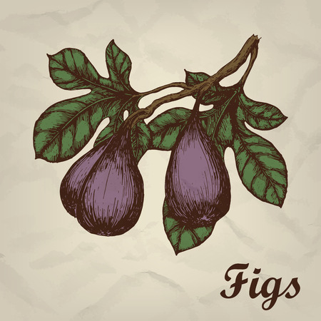 Branch with figs hand drawn vintage style illustration.