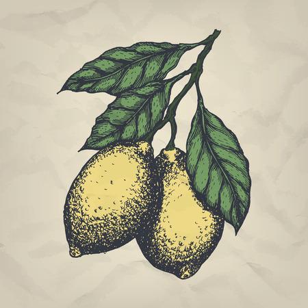 Branch with lemons hand drawn vintage style illustration. Illustration