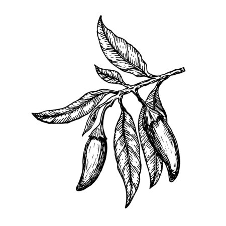 Hand drawn ?hili peppers on a branch. Vector illustration. Illustration