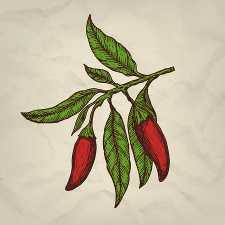 Chili pepper. Hand drawn sketched illustration. Vector illustration Ilustração
