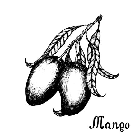 Hand drawn mango branch with leafs. Sketch style vector fruit illustration isolated on white background. Organic food.