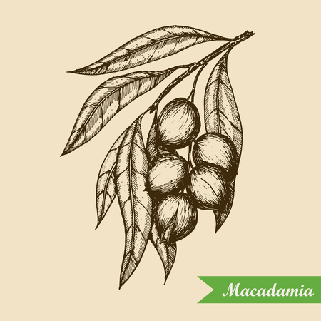 Macadamia nut branch. Hand drawn engraved vector sketch illustration. Vector illustration