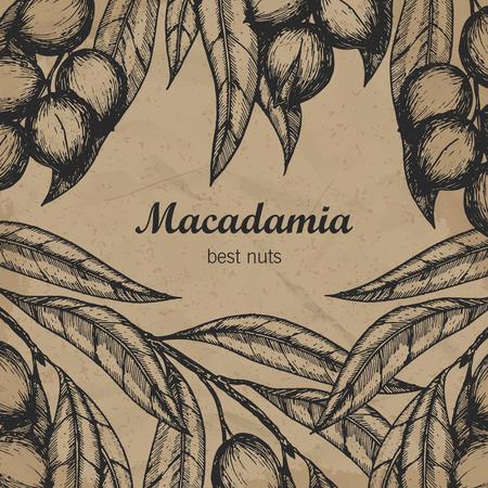 macadamia: Macadamia branch design template. Engraving illustration. Vector illustration Illustration
