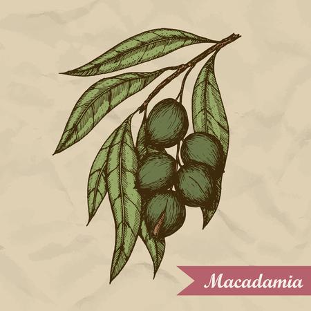 Macadamia nut branch. Hand drawn engraved vector sketch illustration. Vector illustration
