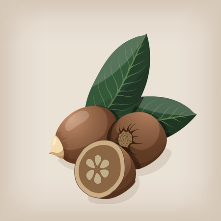 Babassu seeds with leaves. Vector illustration.