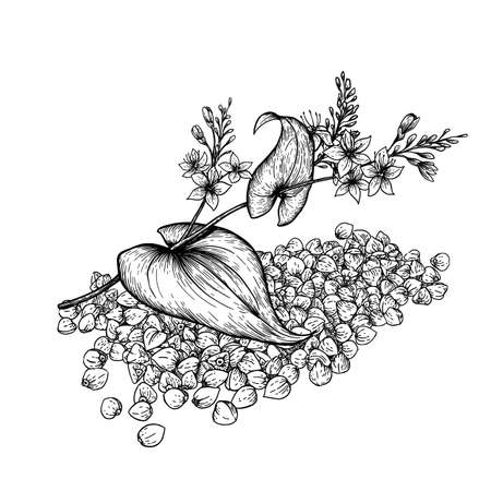 Buckwheat plant and seeds. Hand drawn vector illustration of buckwheat plant with flowers on white background.