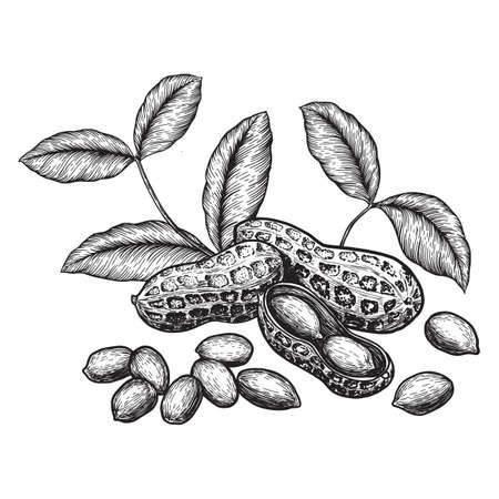 Peanuts and leaves. Hand drawn sketches vector illustration on white background in vintage style.
