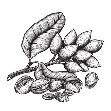 Pistachios and pistachio tree branch with nuts and leaves. Hand drawn sketches vector illustration on white background in vintage style. Vecteurs