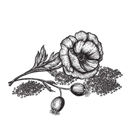 Poppy flowers and seeds. Hand drawn sketches vector illustration on white background in vintage style.