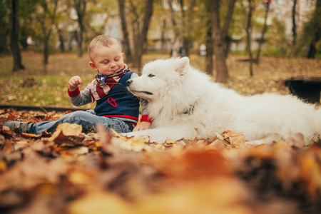 Little boy sits next to samoyed dog and plays with him among yellow fallen leaves in autumn park. Archivio Fotografico