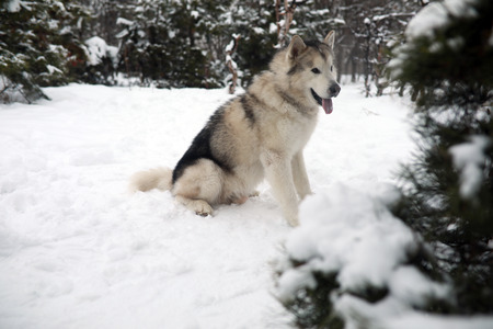 Dog Alaskan Malamute is sitting in the snow for a walk in winter forest. 스톡 콘텐츠