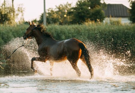 A brown horse runs through the water and produces a lot of splashes.