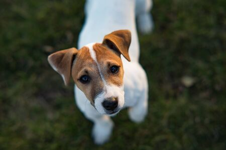 Portrait of Jack Russell puppy at lawn.