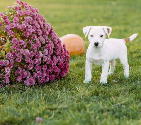 Jack Russell puppy walks on the lawn next to the flower on a sunny day.