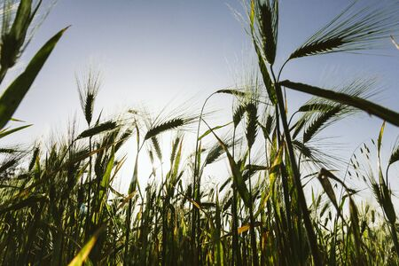 secale: Grass Silhouette Against Sunset, bottom view, wide angle.
