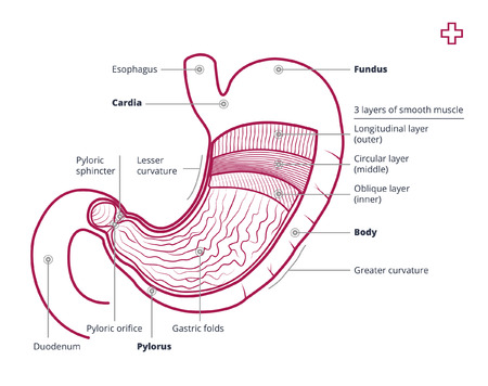 sphincter: Human stomach with description. Outline illustration or image of the human stomach.