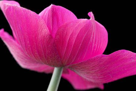 anemone flower: Fiore di anemone rosso su sfondo nero