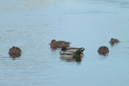 A group of mallard and drake ducks swim in the water in winter.