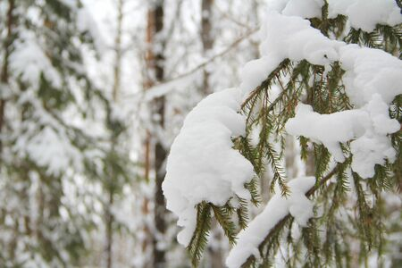 Spruce branch with green needles with snow on a winter background.