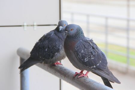 two pigeons are sitting on a metal railing. The concept of homelessness, urban fauna, neglect, disease carrier. Stock photo for web and print with empty space for text and design.