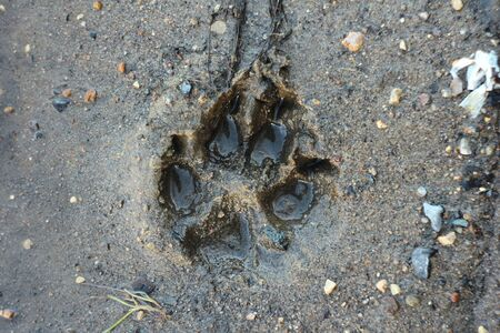 Trace the dog in the wet sand. The imprint of the wolf paw on the raw ground.