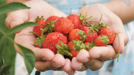 Strawberry. Female hands hold several fresh beautiful strawberry in palms on sunny day. Close-up