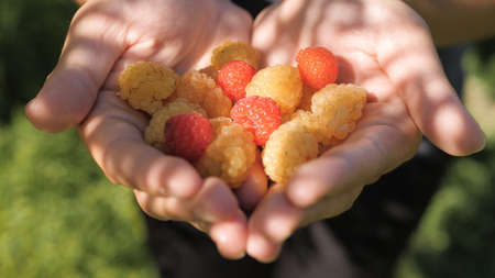 Raspberry. Female hands hold several fresh beautiful yellow and red raspberry in palms on sunny day. Close-up