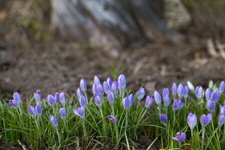 purple snowdrops growing in a park in a row Stock Photo
