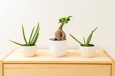 Aloe vera and bonsai in white ceramic pots on a wooden shelf. Hauseplant. Plant home