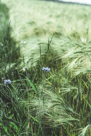 Cornflower blue flower in a wheat field. Country life. Back to nature. Wild flower. Vertical photo