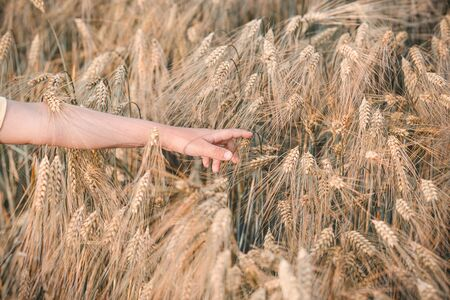 Wheat field. A boy hand and a wheat field. Reconnecting with nature.  Back to nature