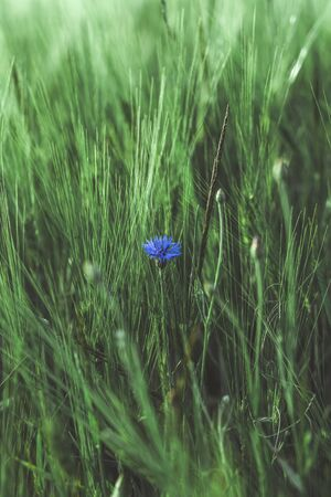 Cornflower blue flower in a wheat field. Country life. Back to nature. Wild flower