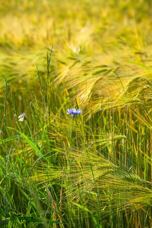 Cornflower blue flower in a wheat field. Country life. Back to nature. Wild flower. Vertical format
