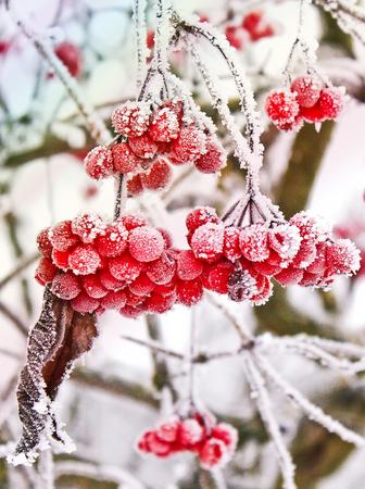 Winter Frozen Viburnum Under Snow. Viburnum In The Snow. First snow. Autumn and snow. Beautiful winter.
