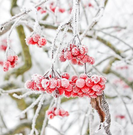 Winter Frozen Viburnum Under Snow. Viburnum In The Snow. Stock Photo