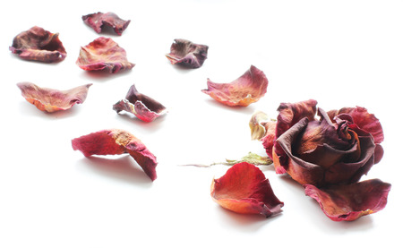 Sluggish red rose on a white background. Dried rose petals on white background. Flowers. Love Archivio Fotografico