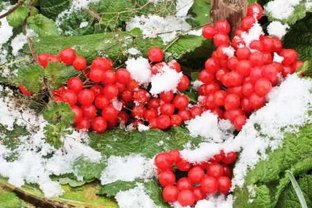 Winter Frozen Viburnum Under Snow. Viburnum In The Snow. First snow. Autumn and snow. Beautiful winter