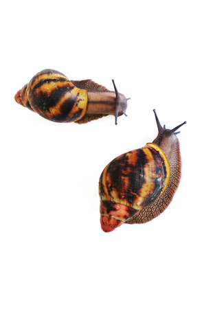 Two snails crawl to each other. Snail on white background. Akhatins Snail. Speed. Slow. Stock Photo